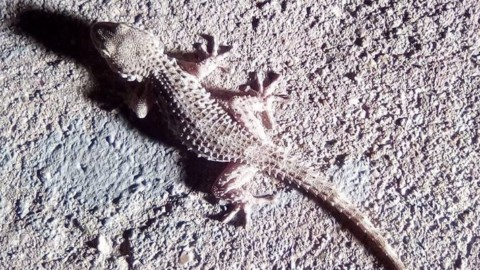 Ulderico, il geco che sa cantare – Cronache Maceratesi (Registrazione)