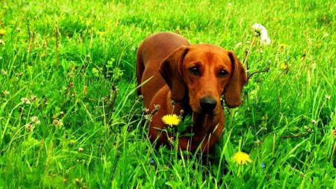 Bocconi avvelenati, muore un altro cane a Borgoratti. E scatta l'allarme – GenovaToday