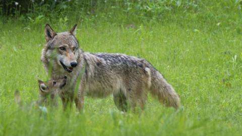 Vergognosa votazione in Veneto. Giorno triste per i lupi. Zaia si faccia sentire