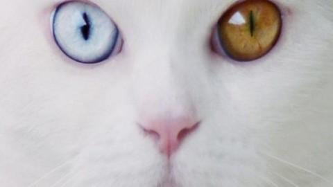Tihon, il gatto gigante dagli occhi diversi – Mondo Gatti