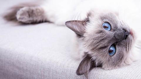 Ragdoll: caratteristiche, cura e alimentazione del gatto – GreenStyle