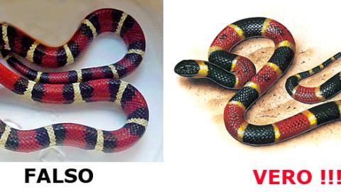 Serpente Corallo vero o falso: come riconoscerlo – Velvet Pets