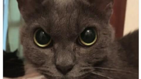 Vi presentiamo Shamo, il gatto più arrabbiato del mondo! – 105.net