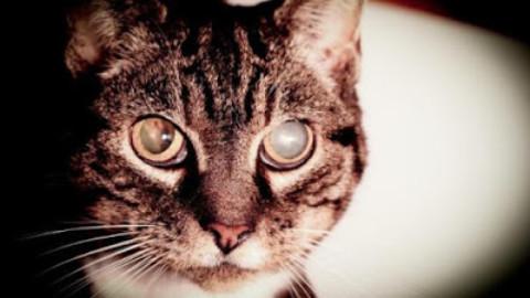 Ipertensione sistemica arteriosa nel gatto