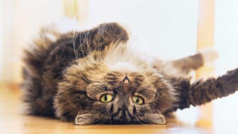 """Gatti e astrologia: il felino """"adatto"""" al vostro segno zodiacale … – Velvet Pets"""