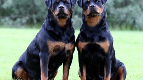 Cani da guardia: le 5 razze migliori – Velvet Pets