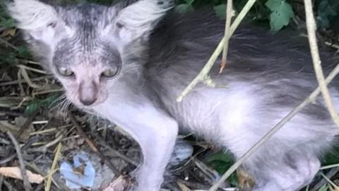 Dolce e rarissimo, 'Zenzero' si presenta: nato a Fermo un gattino Lycoi – Cronache Fermane (Satira) (Comunicati Stampa) (Registrazione)