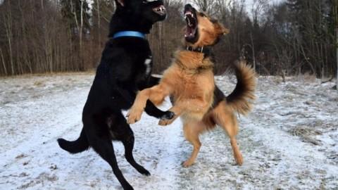 Lite tra due cani: chi risarcisce i danni? – La Legge per Tutti