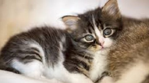 Tenia nel gatto: come capire se ne è è infestato – Mondo Gatti