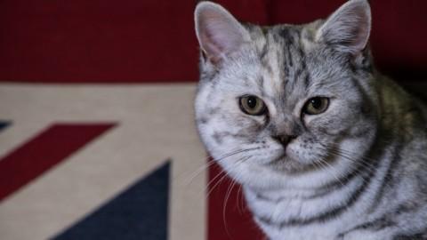 Supreme Cat Show: in mostra a Birmingham i gatti più belli. FOTO – Sky Tg24