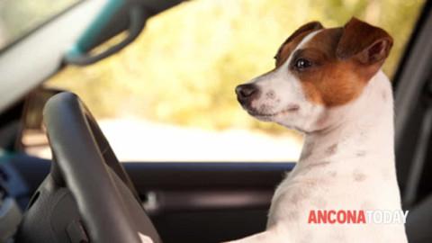 Guida da cani, ecco come comportarsi in auto: vietato girare in bici … – AnconaToday