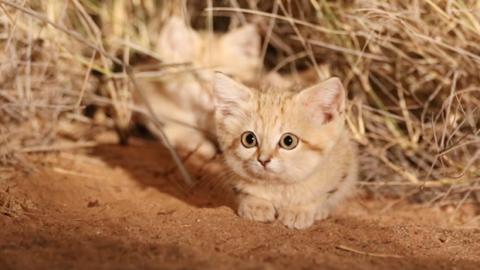 Per la prima volta in un filmato: i cuccioli di gatto della sabbia – Vegolosi.it