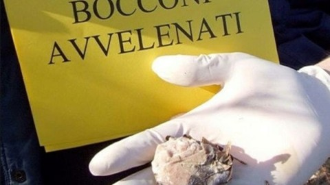 Polpette avvelenate nei boschi del Montello: in pericolo i cani della … – TrevisoToday