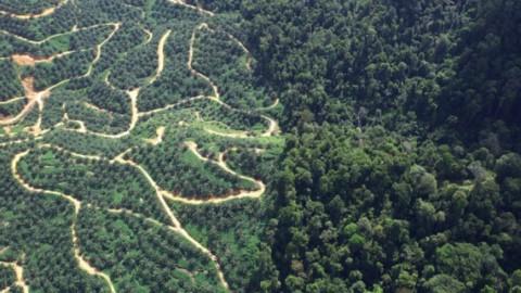 I varani prosperano nelle piantagioni di palme da olio – Focus