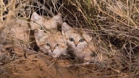 Ripresi per la prima volta nel deserto i gatti delle sabbie (VIDEO E … – vistanet (Comunicati Stampa)