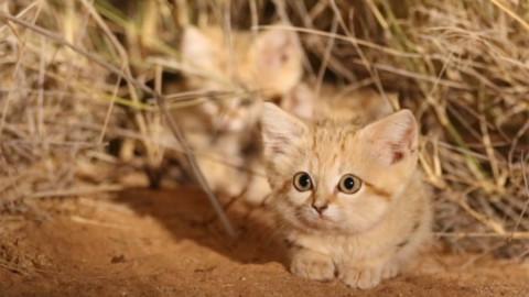 Video: i gatti delle sabbie filmati per la prima volta – RDS 100% Grandi Successi