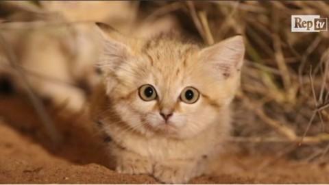 Coda lunga, orecchie appuntite e miagolio impercettibile: i gatti … – L'Huffington Post