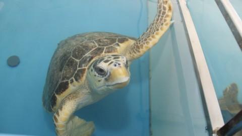 Il mare Adriatico? Per le tartarughe è 'prelibato', ogni anno ne … – Dire
