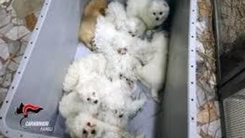 Colpo al racket della vendita dei cani. Sequestrati 53 cuccioli arrivati … – Il Mattino