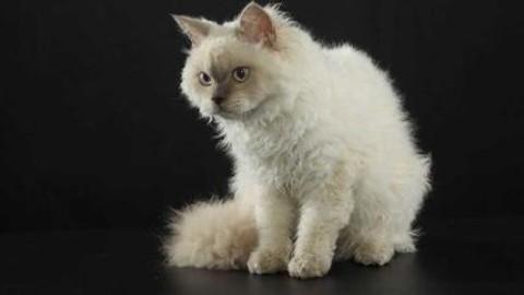 """Gatto """"riccio"""" re del SuperCat Show. Due giorni dedicati alla """"gatto … – Affaritaliani.it"""