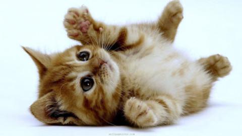Il gattino: manuale d'uso