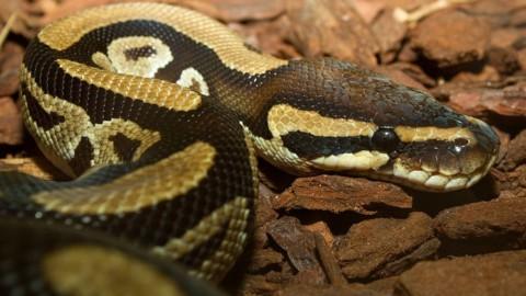 Immagini shock: serpente gigante ingoia un cane e poi lo vomita … – Velvet Pets
