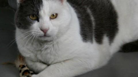 E' scomparso il gatto Freccia Arosio si mobilita LE FOTO – Giornale di Como