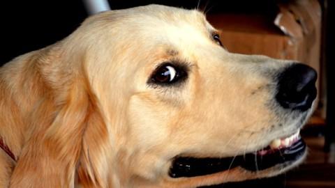 L'animale domestico più intelligente è il cane – Veb