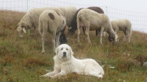 Veneto, per contrastare i lupi consegnati otto cani da pastore per … – Il Sole 24 Ore