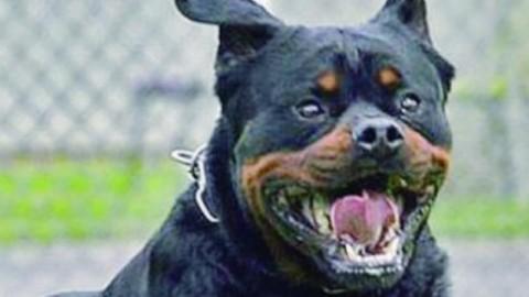 Un rottweiler e un meticcio azzannano e uccidono un jack russel … – il Dolomiti