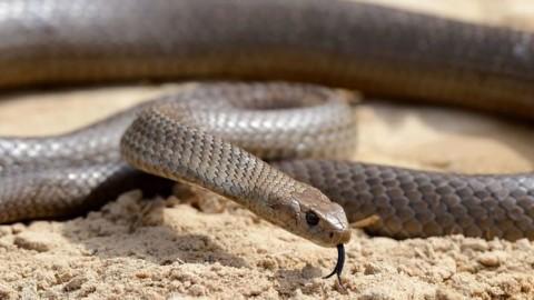 Australia, tenta di salvare il proprio cane dal serpente velenoso: il rettile lo morde e lo uccide – Il Mattino