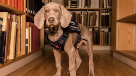 """Un cane """"assunto"""" dal Museum of Fine Arts di Boston: identificherà … – Il Messaggero"""