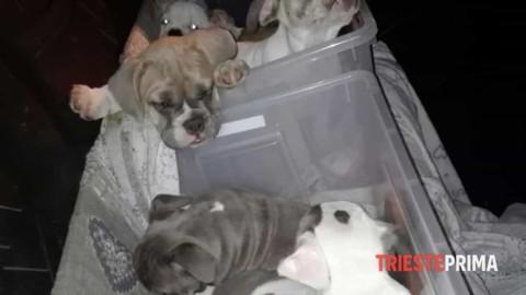 Cuccioli nel bagagliaio senza aria né luce: sequestrati 7 cani di razza – Triesteprima.it