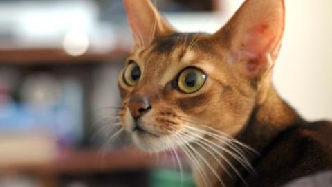 Razze di gatti a pelo corto: da quelli più affettuosi ai giganti – NanoPress