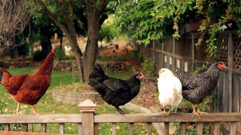 """Con """"Adotta una cocca"""" fino a 4 galline anche nei giardini urbani – Tuttosullegalline.it (Blog)"""