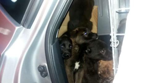 Stipati in auto tra le feci: sequestrati dalla PolStrada 23 cuccioli da … – CesenaToday