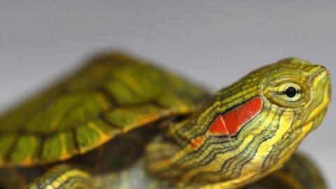 Animali, il decreto contro gli «alieni»: nella black list la tartarughina … – Corriere della Sera