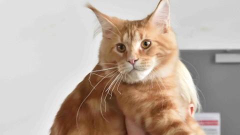 """Anche un gatto veneziano fra i premiati fra i """"gatti più belli del mondo"""" – Gente Veneta"""