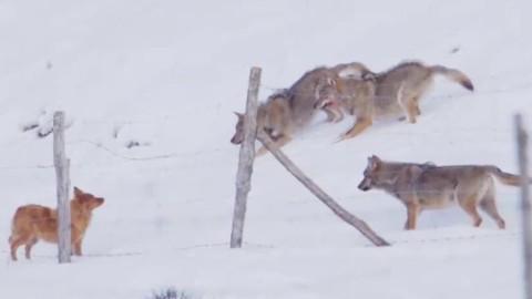 Tre lupi attaccano un cane in montagna, la sua incredibile fuga – La Stampa