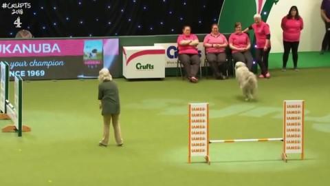 Gb, il cane è indisciplinato: la gara diventa una comica – La Repubblica