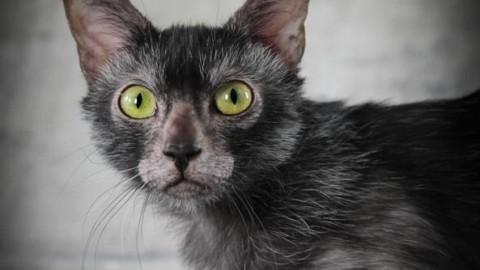 C'è un gatto mannaro a Firenze – Corriere Fiorentino