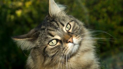 Il gatto norvegese delle foreste, un felino socievole che arriva dal nord – LifeGate