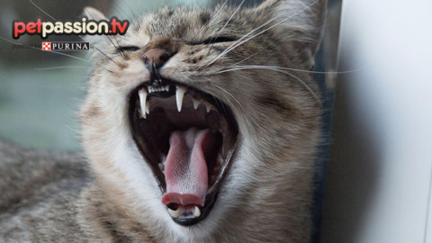 Igiene orale e salute dentale del gatto – Petpassion.tv