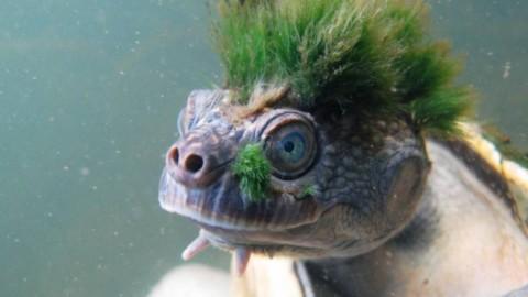 """Ecco la tartartaruga con la """"cresta verde'' che rischia l'estinzione – La Repubblica"""
