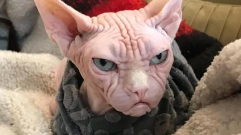 """Loki il gatto """"più arrabbiato"""" di Instagram per colpa delle sue rughe – La Stampa"""