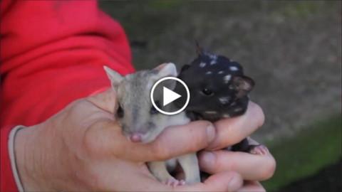 Australia, ecco il gatto marsupiale maculato: dopo mezzo secolo … – La Repubblica