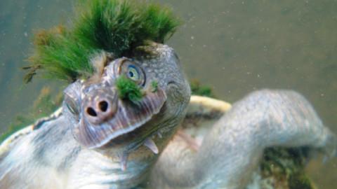 La tartaruga 'punk' che rischia l'estinzione – ANSA.it