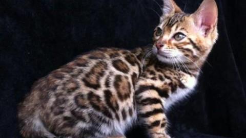 Razze feline, il Bengala: caratteristiche e attitudini di un gatto … – Riviera24