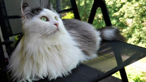 Gatto siberiano, caratteristiche del nobile felino che arriva dalla … – LifeGate