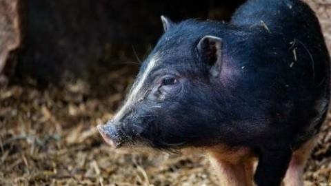 Maialino vietnamita o nano: i segreti del maialino reso celebre da … – TuttoGreen